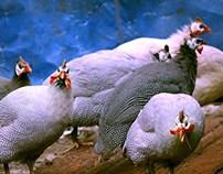 guinea fowl_morke