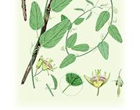 Passiflora nebulosae