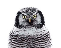 Hökuggla  Northern Hawk Owl