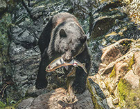 Black Bears at Anan Creek Wrangell, AK