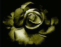 Rose in duotone...