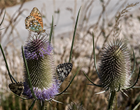 Butterflies and thistles...