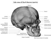 Side view of a Human Skull