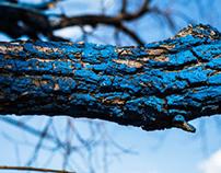 Blue ICHABOD Tree