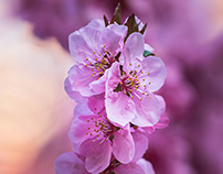 Blooming trees in the spring II