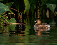 Grebe and Spring water...