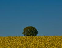 Yellow Fields of Summer