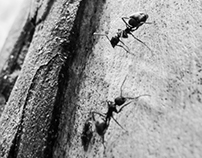 Ants in black and white