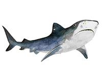 Tiger Shark watercolor illustration