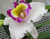 Big Island Orchids (FREE CARDS)