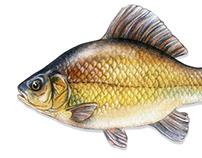 Peces / fish
