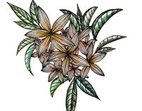 Frangipani Blooms