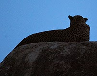 Must See Sri Lanka - Moods of a Big Cat