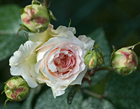 nature: roses | 1