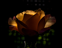 Roses and light...