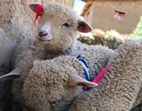 Lamb - Sheep