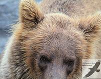 The Bears of Katmai