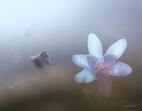 Anemone Hepatica, blue anemone.