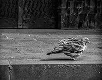 angry pigeon (bw)