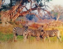 Africa Zebra Beauty