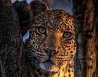 Leopard - SS