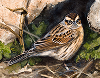 Black-throated accentor for Club 300 Sweden