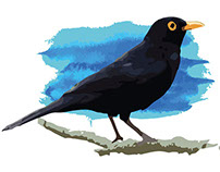 Turdus merula - Studies and graphic research