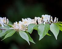 MAGYAN CREATIVE: Dance of the Honeysuckles