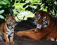 Tiger- Photographs