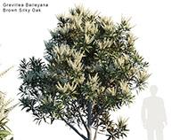 Grevillea Baileyana – Brown Silky Oak