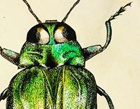 Ilustração Belionota tricolor
