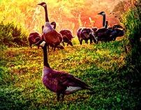 Enchanting Geese