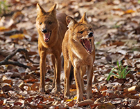 Wildlife - Dhole - Indian Wild Dog
