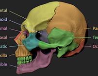 Cranial Anatomy Study