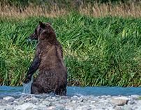 Alaska, Young female grizzly