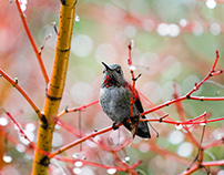 Humming Birds - Photography