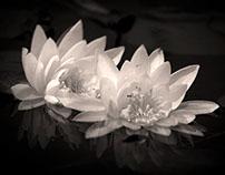 Water Lilies, Crawford Lake, Ontario