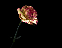 Carnation  [Yellow And Red]