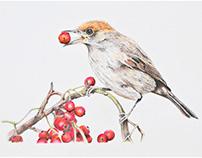 Birds (Graphite & Colouring Pencils) (2018)