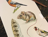 illustration studies, bullfinch muse goldfinch feather