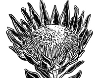 Fynbos botanical illustration