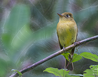 Yellowish Flycatcher, Boquete, Panama 5/29/2014