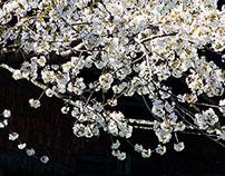 Cherry blossom Fundão...