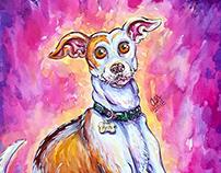 Aria the Italian Greyhound
