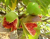 Salvatore Taddeo: Owner Of Sallee Figs
