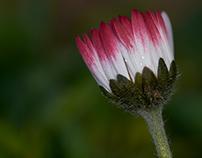 Bellis perennis - The English Daisy