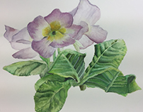 Water Color Primrose Series
