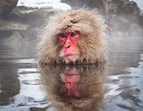 The Macaques of Jigokudani