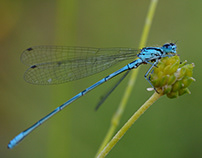 small worlds pt. 6: damselflies