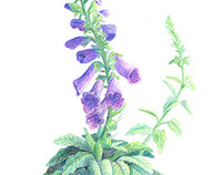 Botanical Illustration- Foxglove (Color)